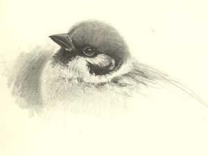Gebbe Björkman fågel